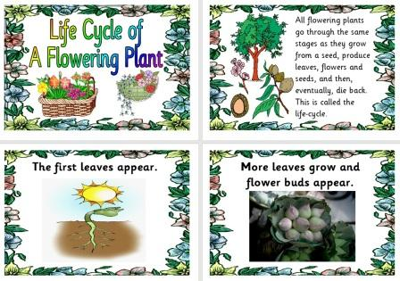 Free Science Teaching Resource Life Cycle of a Flowering Plant