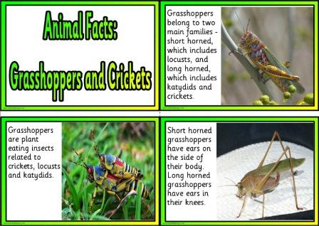 Free Printable Animal Facts Posters - Grasshoppers and Crickets
